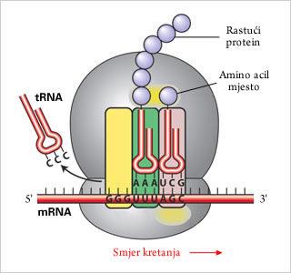 Translacija proteina