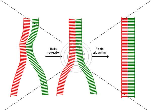 Hibridizacija DNA