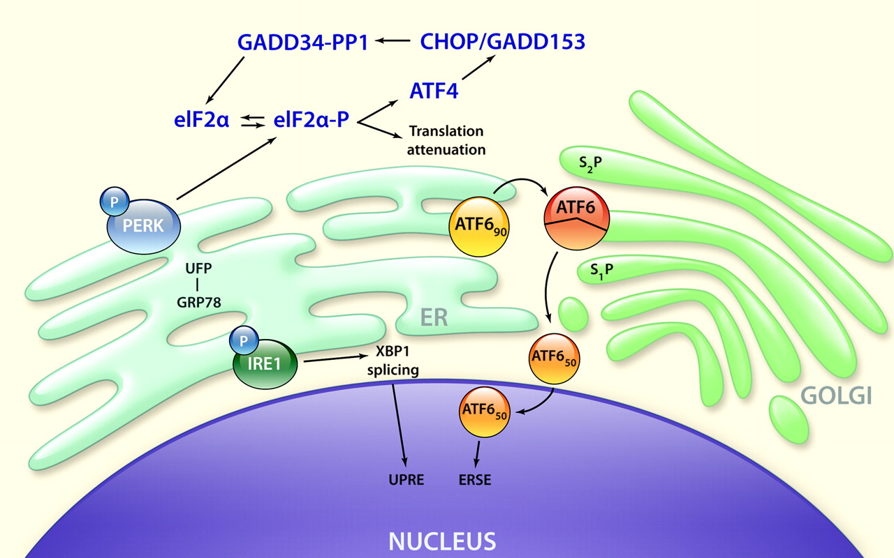 Protein GRP 78