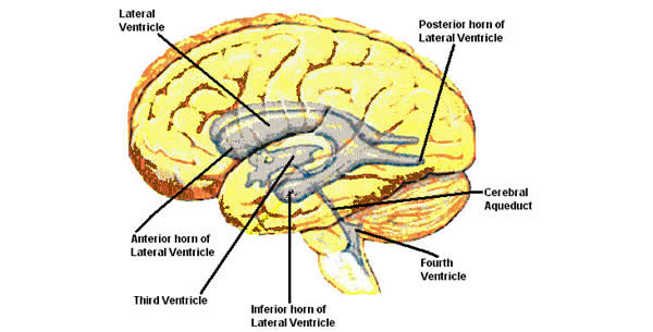Ventriculus lateralis