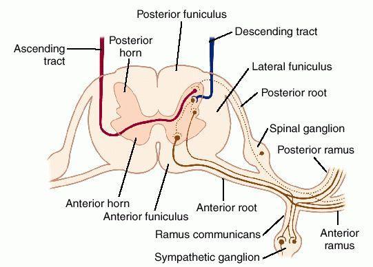 Kičmeni živci
