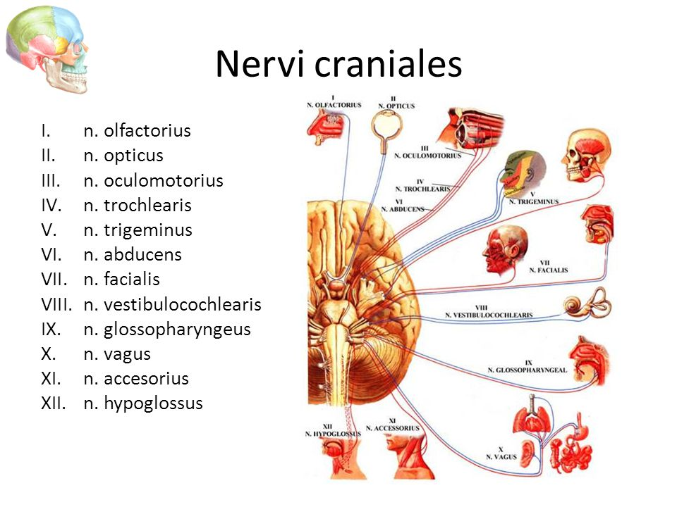 Fantastisch N. Vestibulocochlearis Anatomie Zeitgenössisch ...